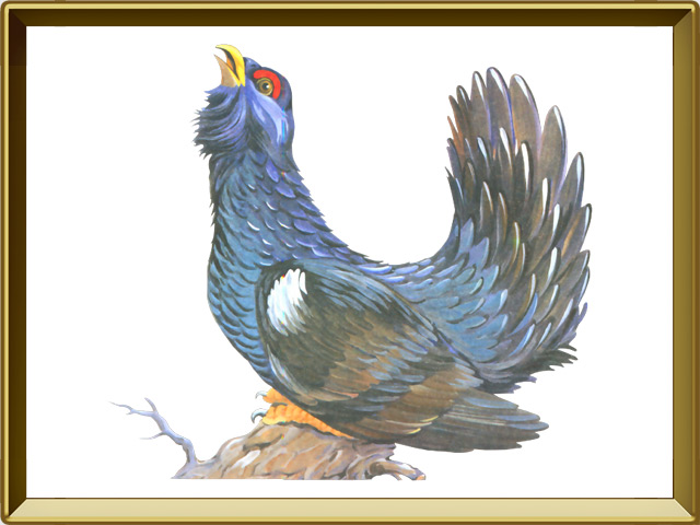 Глухарь — птица, фото в рамке №1