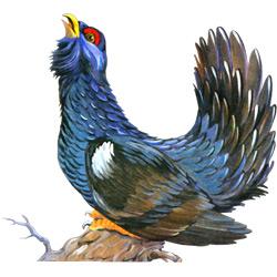 Глухарь — птица, картинка цветная