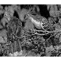 Гоацин — птица, картинка чёрно-белая
