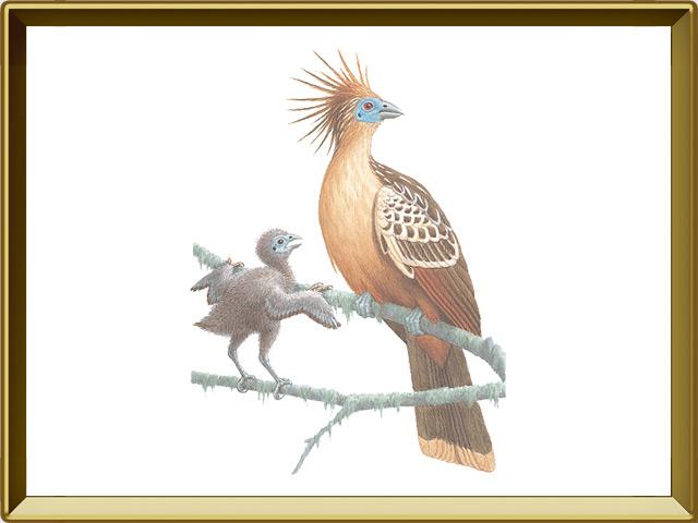 Гоацин — птица, фото в рамке №1