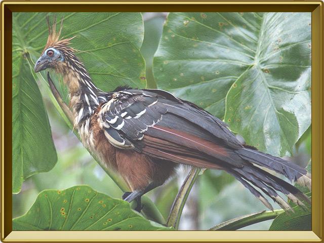 Гоацин — птица, фото в рамке №2