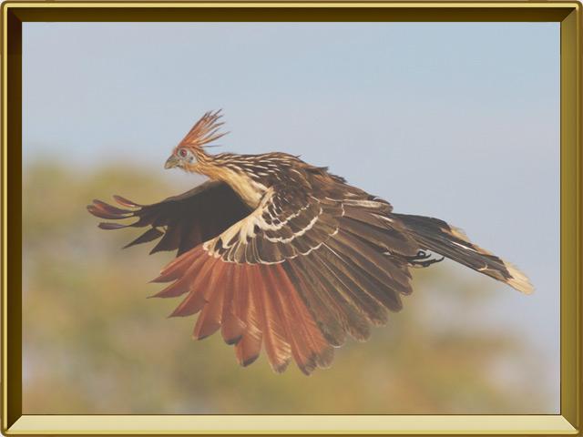 Гоацин — птица, фото в рамке №3