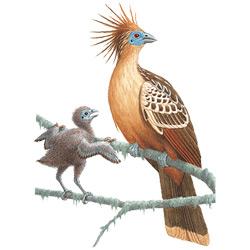 Гоацин — птица, картинка цветная