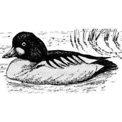 Гоголь — птица, картинка чёрно-белая
