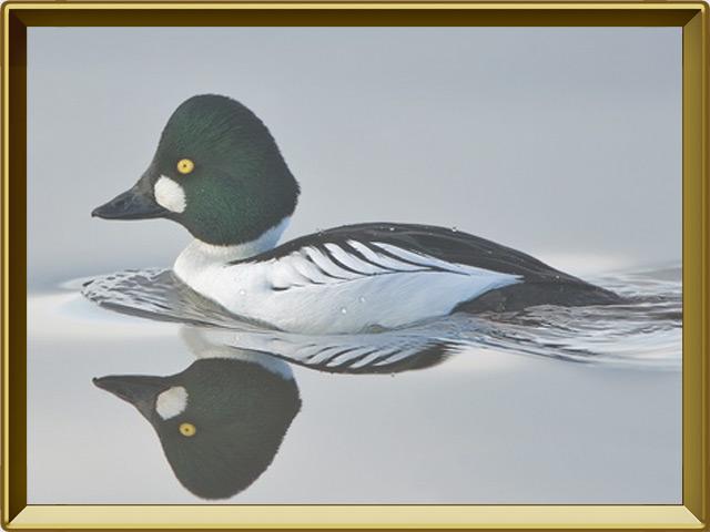 Гоголь — птица, фото в рамке №2