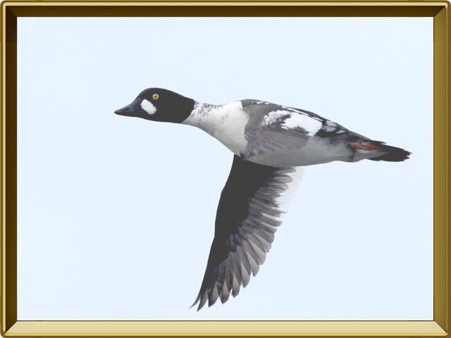 Гоголь — птица, фото в рамке №3