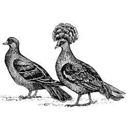 Голубь — птица, картинка чёрно-белая