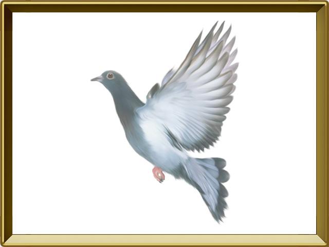Голубь — птица, фото в рамке №1