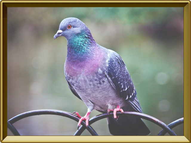 Голубь — птица, фото в рамке №2
