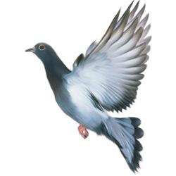 Голубь — птица, картинка цветная