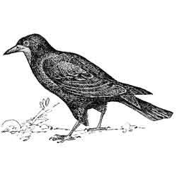 Грач — птица, картинка чёрно-белая