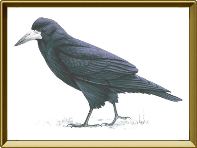 Грач — птица, фото в рамке №1