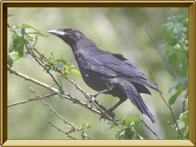 Грач — птица, фото в рамке №3