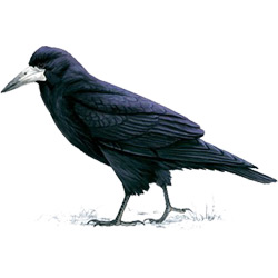 Грач — птица, картинка цветная