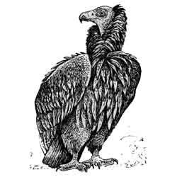 Гриф — птица, картинка чёрно-белая