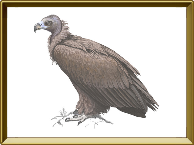 Гриф — птица, фото в рамке №1