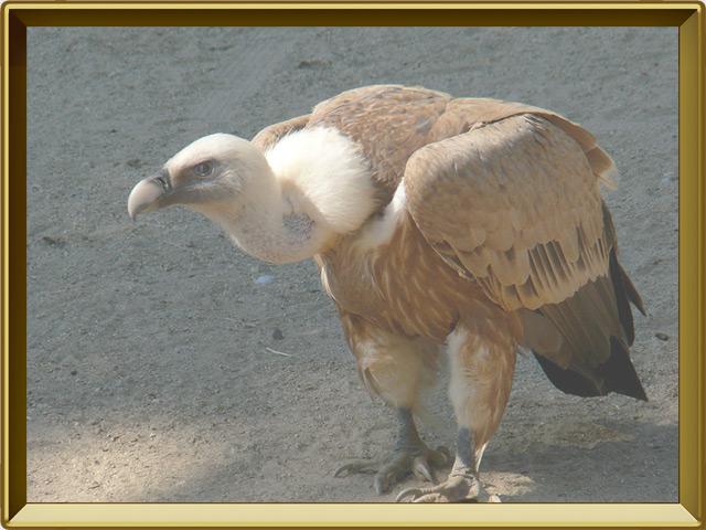 Гриф — птица, фото в рамке №2