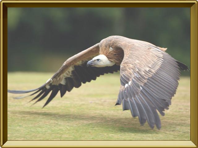 Гриф — птица, фото в рамке №3