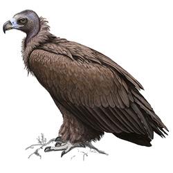 Гриф — птица, картинка цветная
