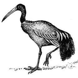 Ибис — птица, картинка чёрно-белая