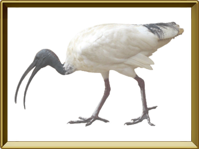 Ибис — птица, фото в рамке №1