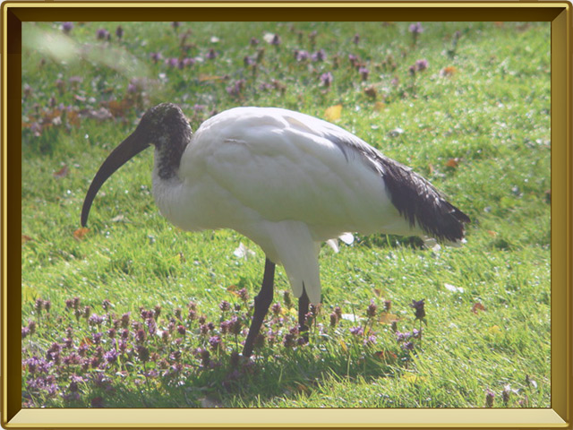 Ибис — птица, фото в рамке №2