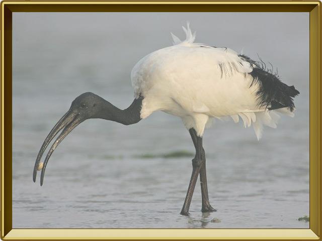 Ибис — птица, фото в рамке №3