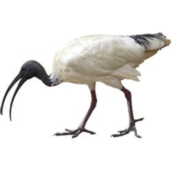 Ибис — птица, картинка цветная