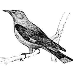 Иволга — птица, картинка чёрно-белая