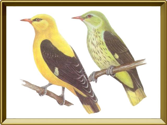 Иволга — птица, фото в рамке №1