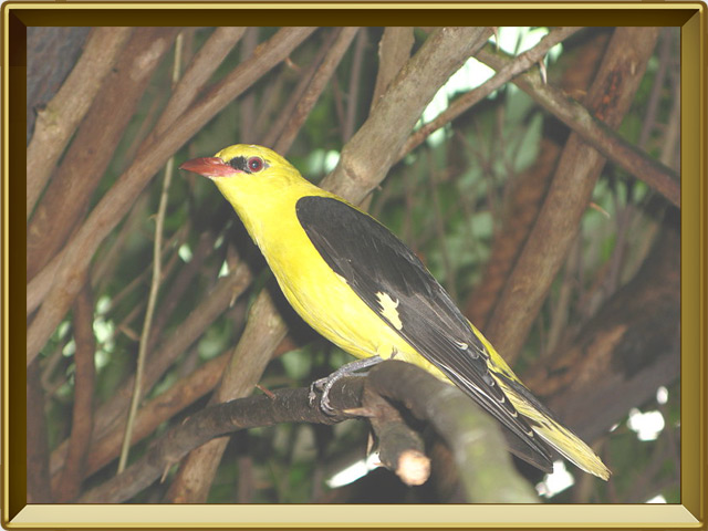 Иволга — птица, фото в рамке №2