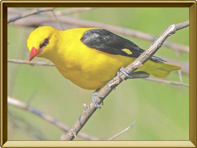 Иволга — птица, фото в рамке №3