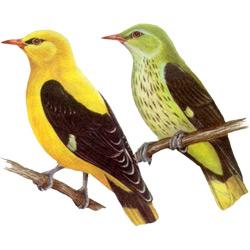 Иволга — птица, картинка цветная