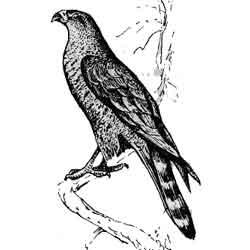 Ястреб — птица, картинка чёрно-белая