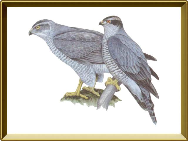 Ястреб — птица, фото в рамке №1