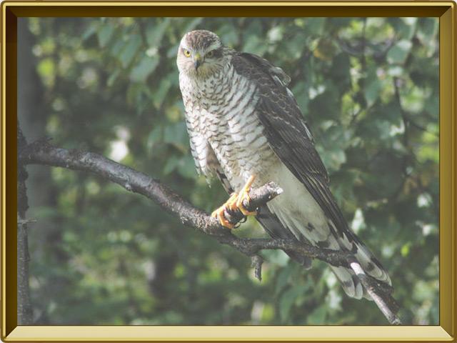 Ястреб — птица, фото в рамке №2
