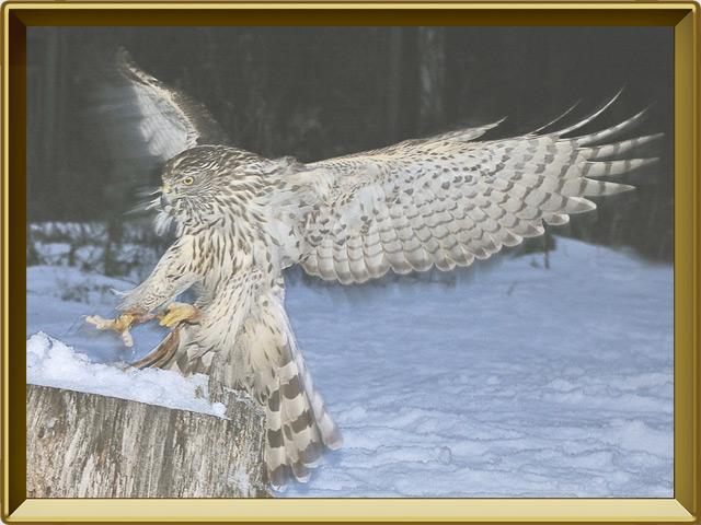 Ястреб — птица, фото в рамке №3