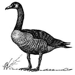 Казарка — птица, картинка чёрно-белая