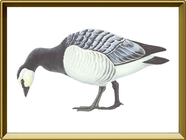 Казарка — птица, фото в рамке №1