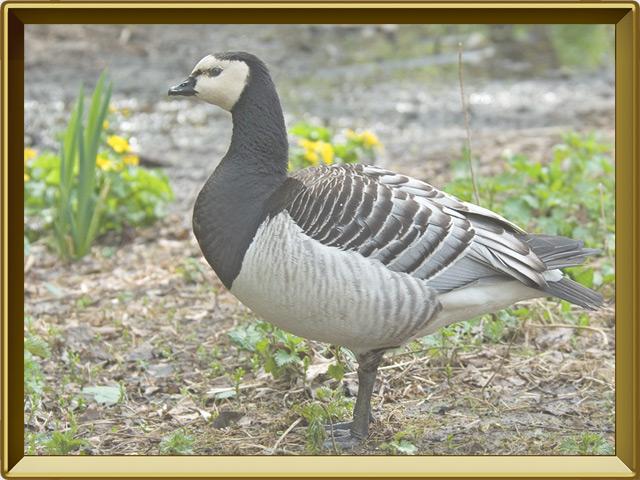 Казарка — птица, фото в рамке №2