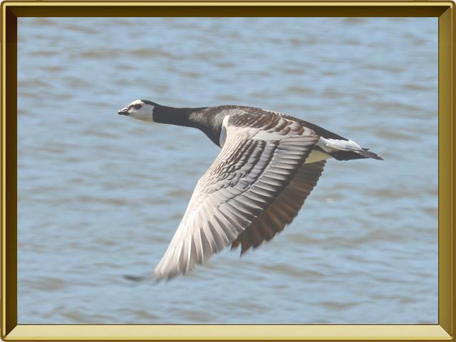 Казарка — птица, фото в рамке №3