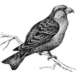 Клёст-еловик — птица, картинка чёрно-белая