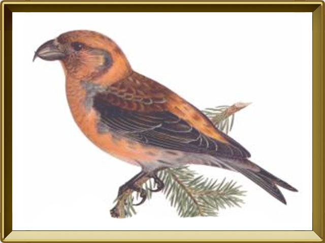 Клёст-еловик — птица, фото в рамке №1