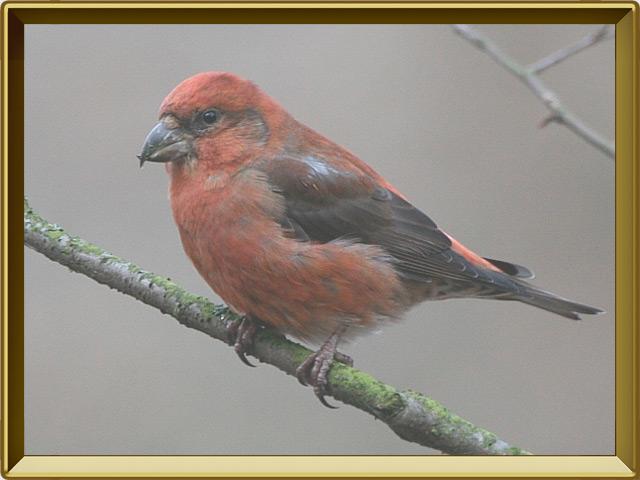Клёст-еловик — птица, фото в рамке №2