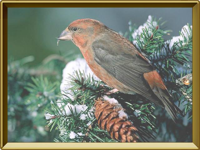 Клёст-еловик — птица, фото в рамке №3