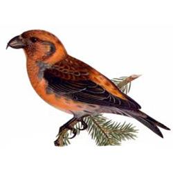 Клёст-еловик — птица, картинка цветная