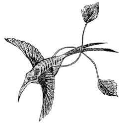 Колибри — птица, картинка чёрно-белая