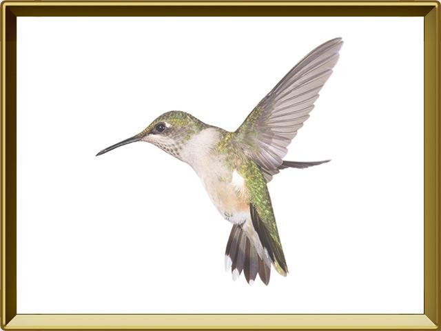 Колибри — птица, фото в рамке №1