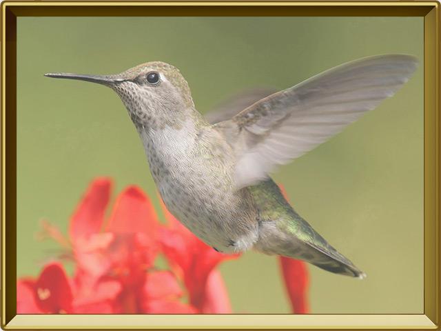 Колибри — птица, фото в рамке №2