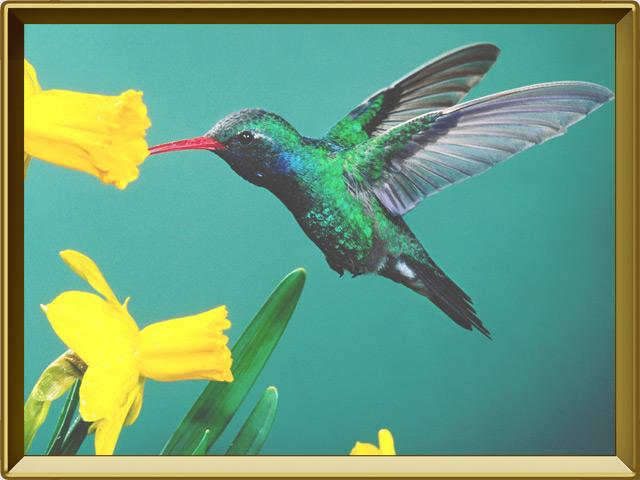 Колибри — птица, фото в рамке №3